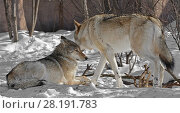 Купить «Two wolves in winter. Eurasian wolf (Canis lupus lupus)», фото № 28191783, снято 18 марта 2018 г. (c) Валерия Попова / Фотобанк Лори