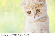 Купить «close up of scottish fold kitten», фото № 28193171, снято 19 июля 2015 г. (c) Syda Productions / Фотобанк Лори