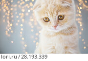 Купить «close up of scottish fold kitten», фото № 28193339, снято 19 июля 2015 г. (c) Syda Productions / Фотобанк Лори