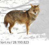 Купить «Golden jackal (Canis aureus) in winter», фото № 28193823, снято 18 марта 2018 г. (c) Валерия Попова / Фотобанк Лори