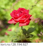 Купить «Алая роза», фото № 28194927, снято 21 июля 2017 г. (c) Ирина Носова / Фотобанк Лори