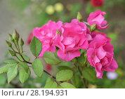 Купить «Розовая роза», фото № 28194931, снято 22 июля 2017 г. (c) Ирина Носова / Фотобанк Лори