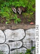 Купить «Eurasian / European badger (Meles meles) outside urban sett behind wall with graffiti, Bristol, UK May», фото № 28203343, снято 17 августа 2018 г. (c) Nature Picture Library / Фотобанк Лори