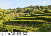 Купить «Tea plantations on the hillsides, the island of Sao Miguel, Azores», фото № 28208127, снято 6 мая 2012 г. (c) Юлия Бабкина / Фотобанк Лори