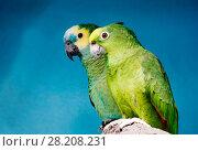 Купить «Попугай синелобый амазон. Blue-fronted amazon», фото № 28208231, снято 15 марта 2018 г. (c) Галина Савина / Фотобанк Лори