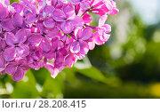 Купить «Сирень в весеннем саду, розовые цветы крупным планом», фото № 28208415, снято 15 июня 2017 г. (c) Зезелина Марина / Фотобанк Лори