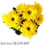 Купить «Букет жёлтых хризантем», фото № 28219947, снято 19 августа 2013 г. (c) Литвяк Игорь / Фотобанк Лори