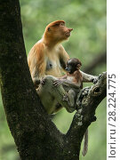 Купить «Proboscis monkey (Nasalis larvatus) female with baby, Tarakan, Indonesia», фото № 28224775, снято 14 августа 2018 г. (c) Nature Picture Library / Фотобанк Лори