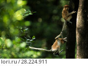 Купить «Proboscis monkey (Nasalis larvatus) juveniles playing and climbing, Tarakan, Indonesia», фото № 28224911, снято 28 мая 2020 г. (c) Nature Picture Library / Фотобанк Лори