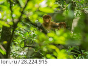 Купить «Proboscis monkey (Nasalis larvatus) mother and juvenile, Tarakan, Indonesia», фото № 28224915, снято 14 августа 2018 г. (c) Nature Picture Library / Фотобанк Лори