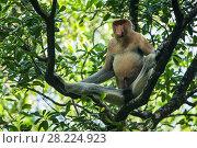 Купить «Proboscis monkey (Nasalis larvatus), Tarakan, Indonesia», фото № 28224923, снято 18 ноября 2018 г. (c) Nature Picture Library / Фотобанк Лори