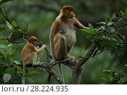 Купить «Proboscis monkey (Nasalis larvatus) female and infant, Tarakan, Indonesia», фото № 28224935, снято 20 июня 2018 г. (c) Nature Picture Library / Фотобанк Лори
