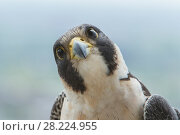 Купить «Peregrine falcon (Falco peregrinus) portrait of female, Chicago, USA, May 2015.», фото № 28224955, снято 19 августа 2018 г. (c) Nature Picture Library / Фотобанк Лори