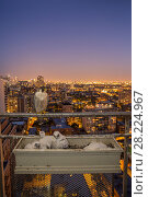 Купить «Peregrine falcon (Falco peregrinus) female at nest in ubran balcony with sunset and city lights behind, Chicago, USA», фото № 28224967, снято 17 октября 2018 г. (c) Nature Picture Library / Фотобанк Лори