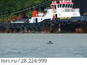 Купить «Irawaddy dolphin (Orcaella brevirostris) in Balikpapan Bay, Indonesia», фото № 28224999, снято 15 декабря 2018 г. (c) Nature Picture Library / Фотобанк Лори