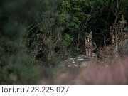 Купить «Iberian lynx (Lynx pardinus+ Sierra Morena, Spain October.», фото № 28225027, снято 19 июля 2018 г. (c) Nature Picture Library / Фотобанк Лори