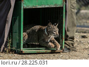 Купить «Iberian lynx (lynx pardinus) cub is released into its enclosure at Zarza de Granadilla Breeding Centre. Extremadura, Spain,  October.», фото № 28225031, снято 25 сентября 2018 г. (c) Nature Picture Library / Фотобанк Лори