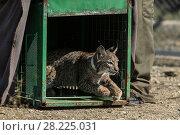 Купить «Iberian lynx (lynx pardinus) cub is released into its enclosure at Zarza de Granadilla Breeding Centre. Extremadura, Spain,  October.», фото № 28225031, снято 19 сентября 2018 г. (c) Nature Picture Library / Фотобанк Лори