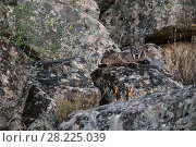 Купить «Iberian lynx (Lynx pardinus) Sierra Morena, Spain October.», фото № 28225039, снято 19 сентября 2018 г. (c) Nature Picture Library / Фотобанк Лори