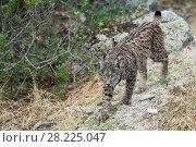 Купить «Iberian lynx (Lynx pardinus) Sierra Morena, Spain, October 2015. October.», фото № 28225047, снято 19 сентября 2018 г. (c) Nature Picture Library / Фотобанк Лори