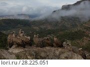 Купить «Griffon vulture (Gyps fulvus) flock on ground,  Tremp, Spain November.», фото № 28225051, снято 23 мая 2018 г. (c) Nature Picture Library / Фотобанк Лори