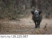 Bush pig (Potamochoerus larvatus) in South Luangwa NP, Zambia. Стоковое фото, фотограф Luke Massey / Nature Picture Library / Фотобанк Лори