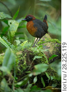 Купить «Rufous breasted antthrush (Formicarius rufipectus) Mindo Cloud Forest, Ecuador», фото № 28225119, снято 22 октября 2018 г. (c) Nature Picture Library / Фотобанк Лори
