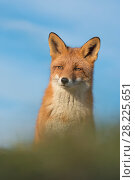 Купить «Red fox (Vulpes vulpes) head portrait, Netherlands.», фото № 28225651, снято 18 августа 2018 г. (c) Nature Picture Library / Фотобанк Лори