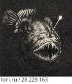 Купить «Melanocetus nova species, рыба из семейства Lophiidae, пойманная в Индийском океане на глубине около 5000 метров. Виды светящихся глубоководных животных», иллюстрация № 28229163 (c) Макаров Алексей / Фотобанк Лори