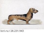Купить «Карликовая такса нарисованная акварелью в профиль», иллюстрация № 28231943 (c) Elizaveta Kharicheva / Фотобанк Лори