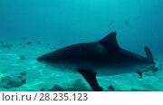 Купить «Tiger Shark swim over sandy bottom», видеоролик № 28235123, снято 27 марта 2018 г. (c) Некрасов Андрей / Фотобанк Лори