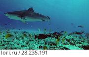 Купить «Tiger Shark swim over reef», видеоролик № 28235191, снято 27 марта 2018 г. (c) Некрасов Андрей / Фотобанк Лори