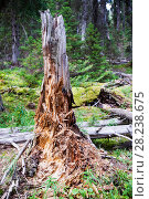 Купить «Rotting tree stump in forest in Johnsons Canyon in the Banff National Park, Canadian Rockies, Canada, August 2012.», фото № 28238675, снято 31 мая 2020 г. (c) Nature Picture Library / Фотобанк Лори