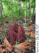 Купить «Rotting tree stump in  Daintree rainforest, northern Queensland, Australia,  the oldest continuously forested rainforest area on the planet.», фото № 28238727, снято 20 августа 2018 г. (c) Nature Picture Library / Фотобанк Лори