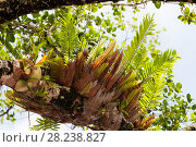 Купить «Epiphytic ferns in the Daintree rainforest, North Queensland, Australia,  the oldest continuously forested rainforest area on the planet.», фото № 28238827, снято 16 августа 2018 г. (c) Nature Picture Library / Фотобанк Лори