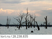 Купить «Lake Mulwala at Yarrawonga was created when the Murray River was dammed to provide irrigation water for surrounding farmland. The drought which lasted...», фото № 28238835, снято 17 августа 2018 г. (c) Nature Picture Library / Фотобанк Лори