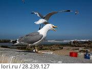 Купить «Seagull close up in Essaouira», фото № 28239127, снято 21 февраля 2018 г. (c) Михаил Коханчиков / Фотобанк Лори