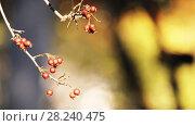 Купить «Crataegus prunifolia (Broad-leaved Cockspur Thorn)», видеоролик № 28240475, снято 23 февраля 2018 г. (c) BestPhotoStudio / Фотобанк Лори