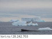 Купить «Humpback Whale logging», фото № 28242703, снято 31 декабря 2017 г. (c) Vladimir / Фотобанк Лори