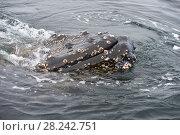 Купить «Humpback Whale close up», фото № 28242751, снято 8 марта 2018 г. (c) Vladimir / Фотобанк Лори