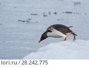 Купить «Gentoo Penguin on the ice», фото № 28242775, снято 21 января 2018 г. (c) Vladimir / Фотобанк Лори