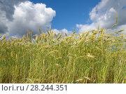 Купить «Колосья ржи на фоне голубого неба с облаками», фото № 28244351, снято 9 июля 2016 г. (c) Елена Коромыслова / Фотобанк Лори