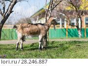 Купить «Goats graze in the village», фото № 28246887, снято 31 марта 2018 г. (c) Типляшина Евгения / Фотобанк Лори