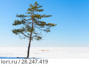 Купить «Pine tree in winter, natural photo», фото № 28247419, снято 31 марта 2018 г. (c) EugeneSergeev / Фотобанк Лори