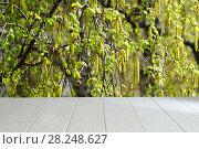 Купить «Пустой белый стол на фоне цветущей березы», фото № 28248627, снято 23 февраля 2018 г. (c) ирина реброва / Фотобанк Лори