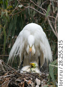 Купить «Great egret (Ardea alba) using wings to shield chicks, aged one week, in nest, Sonoma County, California, USA.», фото № 28255215, снято 20 августа 2018 г. (c) Nature Picture Library / Фотобанк Лори