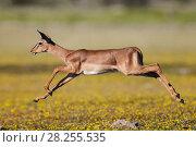Купить «Black-faced impala (Aepyceros melampus petersi) female leaping above Devil's-thorn yellow flowers  (Tribulus terrestris) Etosha National Park, Namibia.», фото № 28255535, снято 27 мая 2018 г. (c) Nature Picture Library / Фотобанк Лори
