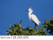 Купить «Snowy egret (Egretta thula), Sonoma County, California, USA.», фото № 28255655, снято 29 мая 2020 г. (c) Nature Picture Library / Фотобанк Лори
