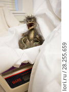 Купить «Rescued Black-crowned night heron (Nycticorax nycticorax) chick, aged less than 1 week, on weighing scale, International Bird Rescue, Fairfield, California, USA.», фото № 28255659, снято 21 сентября 2019 г. (c) Nature Picture Library / Фотобанк Лори