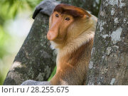 Купить «Proboscis monkey (Nasalis larvatus) adult male, Sabah, Malaysia.», фото № 28255675, снято 14 августа 2018 г. (c) Nature Picture Library / Фотобанк Лори